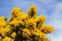 Желтые цветки на общих кусте или дроке whin показывая их полную славу весны в графстве вниз Северной Ирландии Этот тяжело th стоковая фотография rf