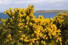 Желтые цветки на общих кусте или дроке whin показывая их полную славу весны в графстве вниз Северной Ирландии Этот тяжело th стоковые фото