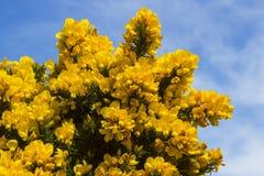 Желтые цветки на общих кусте или дроке whin показывая их полную славу весны в графстве вниз Северной Ирландии Этот тяжело th стоковое фото rf