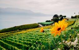 Желтые цветки на террасе виноградника в деревне Chexbres в Lavaux около Vevey и Монтрё стоковые изображения rf