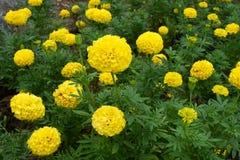 Желтые цветки ноготк в саде стоковые изображения