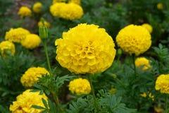 Желтые цветки ноготк в саде стоковая фотография