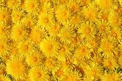 Желтые цветки полностью покрыли взгляд сверху предпосылки стоковые фото
