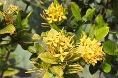 Желтые цветки тропического завода стоковая фотография rf
