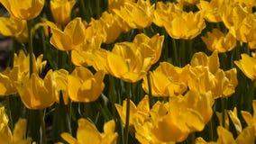 Желтые цветки тюльпана сток-видео