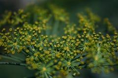 Желтые цветки укропа стоковое изображение