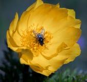 Желтые цветки adonis стоковое фото rf