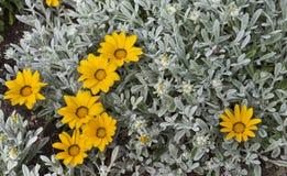 Желтые цветки Gazania в Италии Стоковая Фотография RF