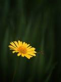 Желтые цветок и оса стоковая фотография
