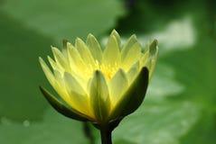 Желтые цветок лотоса или nouchali Nymphaea стоковая фотография rf