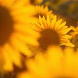 Желтые цветя солнцецветы Стоковое Изображение