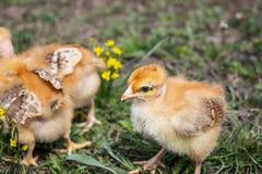 Желтые цыпленоки на поле или лужайке травы для дизайна и концепции украшения стоковые фотографии rf