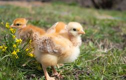 Желтые цыпленоки на поле или лужайке травы для дизайна и концепции украшения стоковые фото