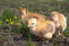Желтые цыпленоки на поле или лужайке травы для дизайна и концепции украшения стоковое изображение rf