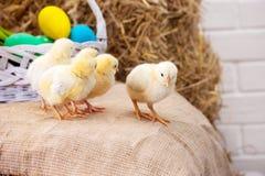 Желтые цыплята в красочных украшениях пасхи стоковое фото rf