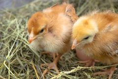 Желтые цыплята в крупном плане гнезда желтых цыплят в гнезде стоковая фотография