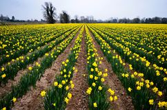 Желтые daffodils на ферме стоковое фото rf
