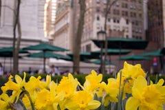 Желтые Daffodils, NYC Стоковое Изображение