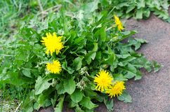 Желтые dandelionflowers с зеленым крупным планом листьев стоковое изображение rf
