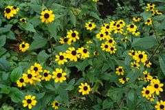 Желтые flowerheads Susan наблюданной чернотой Стоковые Изображения RF