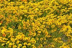 Желтые wildflowers маргаритки Стоковое Фото