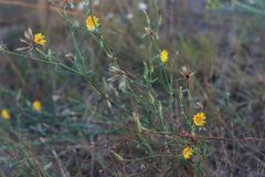 Желтые wildflowers цветет тернии стоковое изображение