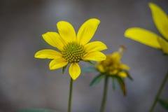 Желтые wildflowers Стоковые Изображения