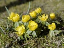 Желтый аконит зимы Стоковые Фото