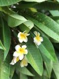 Желтый белый цветок Стоковые Изображения