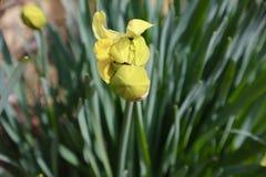 Желтый бутон Daffodil около к цветку стоковые фотографии rf