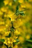 Желтый вербейник стоковые фото
