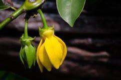 Желтый взбираясь иланг-иланг цветет в лете на ботаническом саде стоковые фото