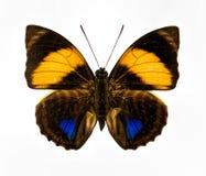 Желтый голубой и коричневый изолированный крупный план бабочки Стоковые Фото