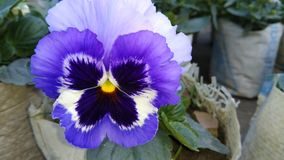 Желтый голубой фиолетовый и белый цвет смешал цветок бабочки Стоковая Фотография RF
