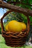 Желтый грейпфрут в сплетенной корзине вручая с лозы стоковая фотография rf