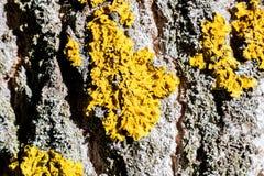 Желтый грибок на конце коры дерева вверх стоковая фотография