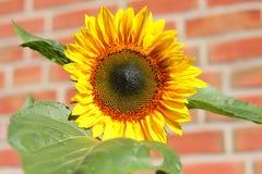 Желтый золотистый солнцецвет Стоковое Фото