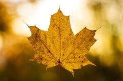 Желтый изолированный кленовый лист в одиночном осени стоковая фотография rf