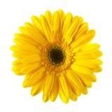 Желтый изолированный цветок маргаритки Стоковое Изображение