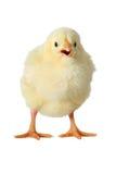 Желтый изолированный цыпленок Стоковая Фотография