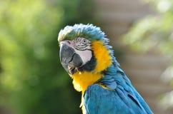 Желтый и голубой Macaw Стоковое Фото