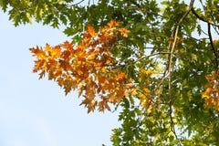 Желтый и зеленый дуб Стоковое Изображение