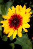 Желтый и красный большой конец-вверх цветка Стоковая Фотография RF