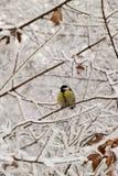 Желтый кавказский titmouse в снежных ветвях дерева в зиме стоковое изображение rf