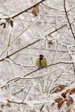 Желтый кавказский titmouse в снежных ветвях в зиме стоковые фотографии rf