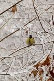 Желтый кавказский titmouse сидя в снежных ветвях стоковые фото