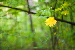 Желтый кленовый лист на зеленой предпосылке, одиночные лист стоковые изображения