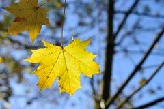 Желтый кленовый лист Стоковая Фотография