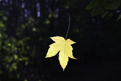 Желтый кленовый лист Стоковое Изображение RF