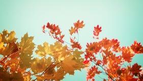 Желтый клен в парке осени Стоковая Фотография